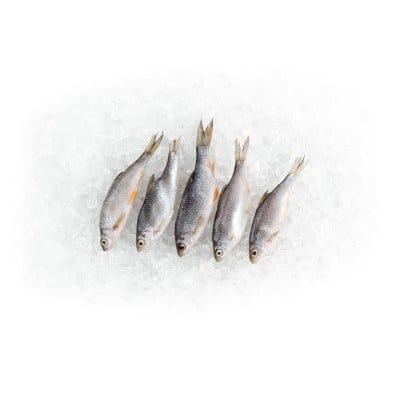 3 x 5 Rotaugen und Rotfedern 12 - 15cm