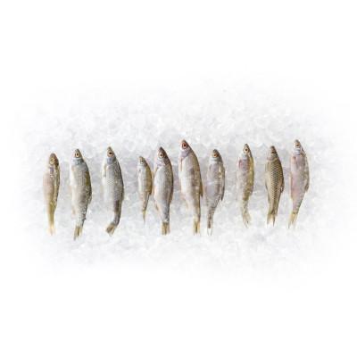 4 x 10 Rotaugen und Rotfedern 6 - 10cm